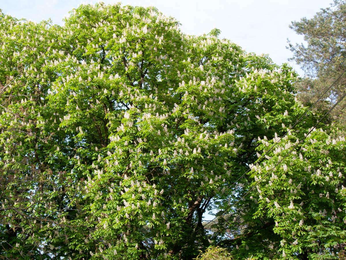 Fraaie kastanjeboom in bloei